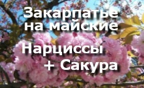 Майские Нарциссы и Сакура, Цветы Закарпатья